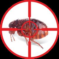 destruction-of-fleas